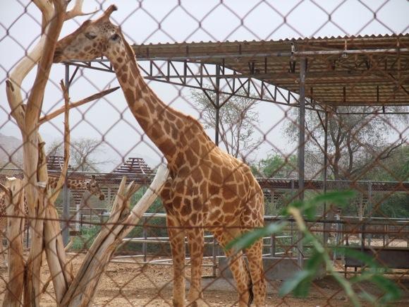 Al-Ain-Wildlife-Park-giraffes