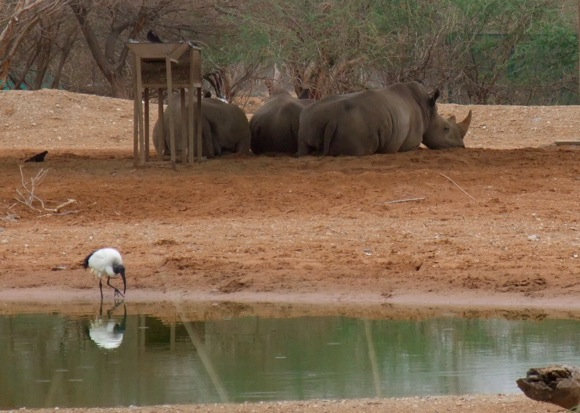 Al-Ain-Wildlife-Park-rhinos