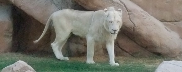 Al-Ain-Wildlife-Resort-white-lions-2
