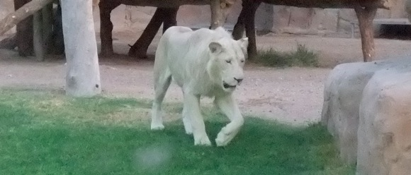 Al-Ain-Wildlife-Resort-white-lions